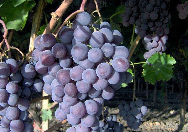 Uva da tavola vitroplant italia srl societ agricola si - Vivai rauscedo uva da tavola ...